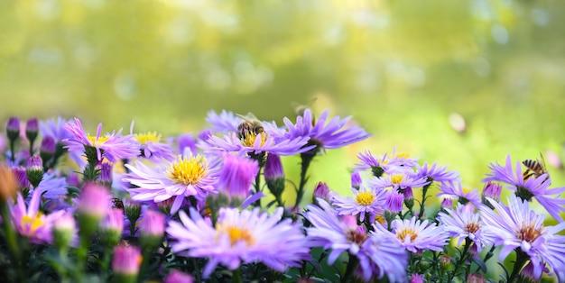 Wiosna z kwiatami aster alpinus