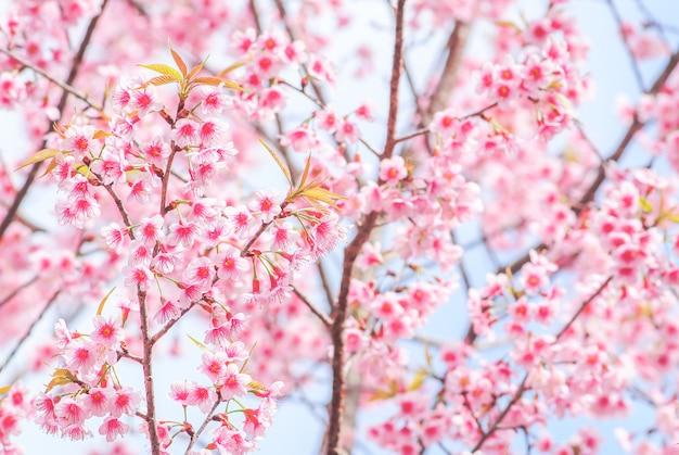 Wiosna z pięknymi kwiatami wiśni