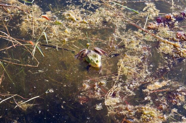 Wiosną zamarzła zielona żaba na bagnach