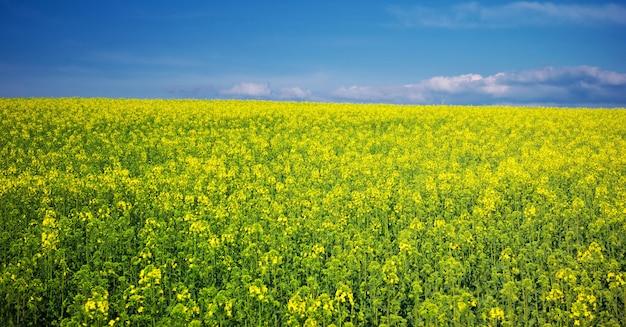 Wiosna żółta łąka.