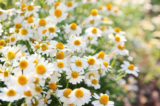 Wiosny biała stokrotka kwitnie w naturze w świetle słonecznym.