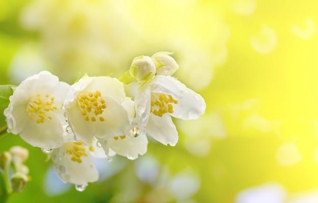 Wiosny tło gałąź jaśminowi kwiaty w kroplach rosa w świetle słonecznym
