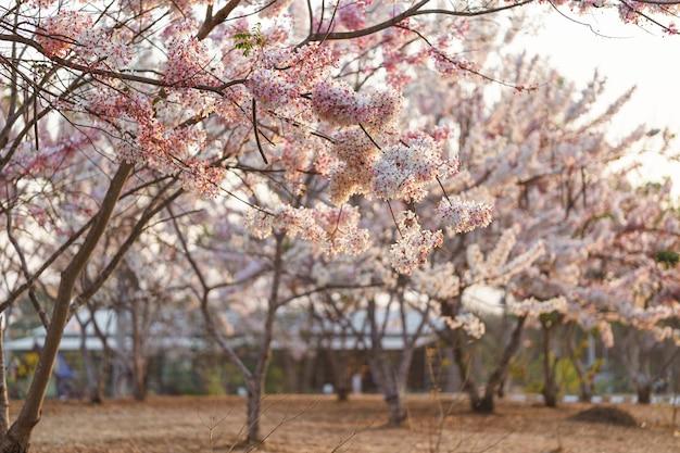 Wishing tree, pink shower, pink cassia w publicznym parku to piękne różowe kwiaty tajlandii.