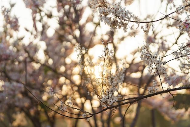 Wishing tree, pink shower, pink cassia z rozbłyskiem zachodu słońca to piękne różowe kwiaty tajlandii.