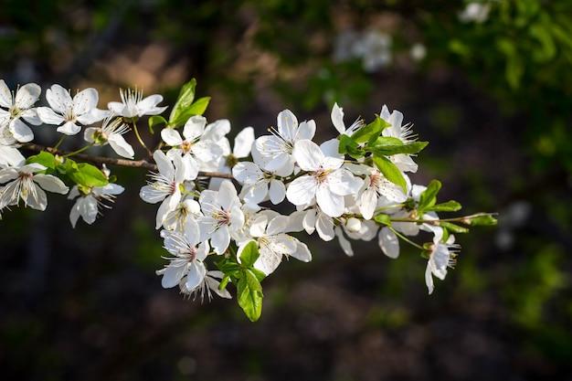 Wiśnia kwitnąca wiosną, kwiaty białe