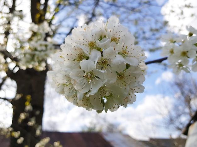 Wiśnia w pełnym rozkwicie kwiaty wiśni w małym skupisku bieli