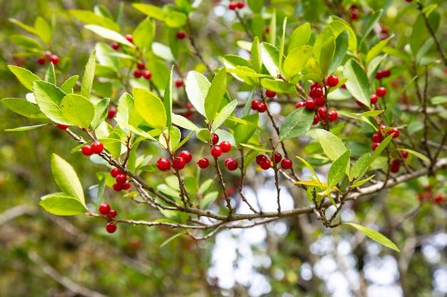 Wiśnie wiszące na gałęzi drzewa wiśni. wiśniowe drzewo w letnim ogrodzie.
