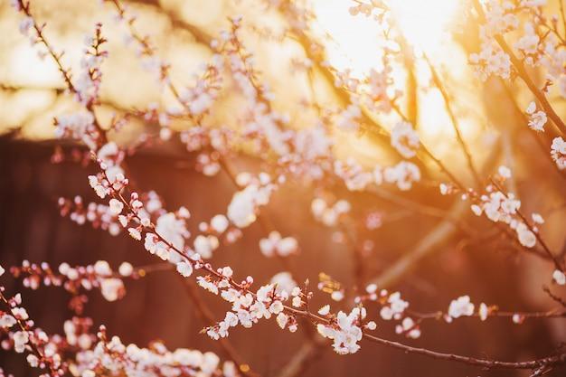 Wiśniowa gałąź z białymi kwiatami. wiosną kwitnące drzewo tło. tło przyrody. kwitnąca wiosny czereśniowa roślina w parku. kwiat sakury w ogrodzie. piękny mały kwiatek. dzień matki ziemi