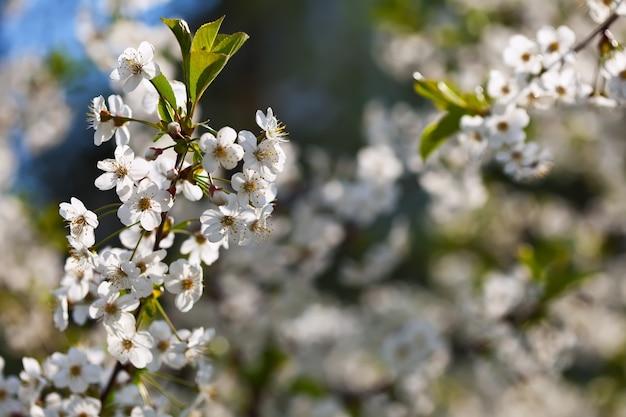 Wiśniowe drzewo gałąź kwitnie w ogrodzie