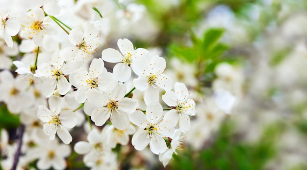 Wiśniowe drzewo oddziału z kwiatami