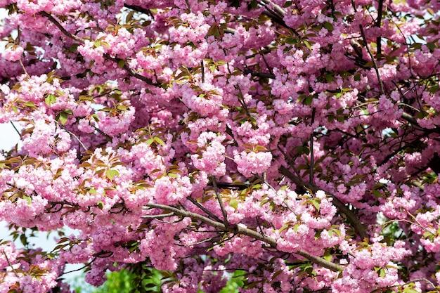 Wiśniowe drzewo w różowy kwiat w słoneczny dzień. sakura kwiaty kwitnące wiosną. natura, piękno, środowisko. sakura koncepcja sezon kwitnienia. odnowa, odrodzenie, przebudzenie nowego życia.