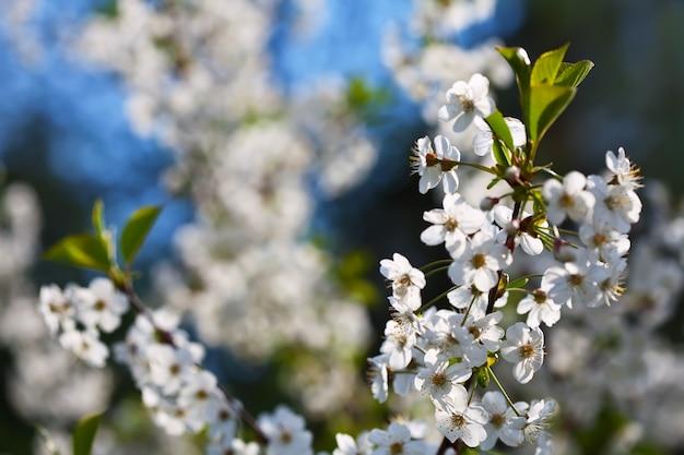 Wiśniowe gałęzie drzewa w ogrodzie kwiatowym