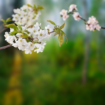 Wiśniowe gałęzie z białymi kwiatami na tle zielonego ogrodu