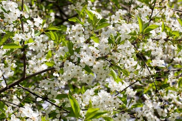 Wiśniowe gałęzie z zielonymi liśćmi i białymi kwiatami wiosną, zbliżenie sadu