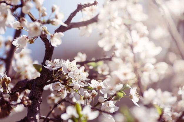 Wiśniowe kwiaty białe wiosenne kwiaty zbliżenie nieostrość wiosna sezonowe tło