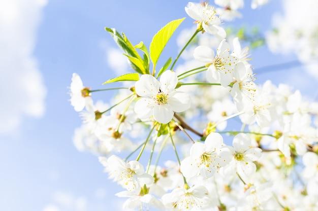 Wiśniowe kwiaty drzewa tło