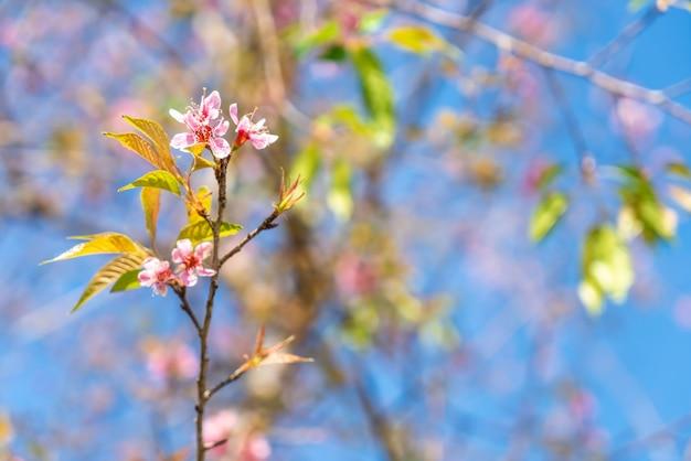 Wiśniowe kwiaty kwitnące na niebieskim niebie
