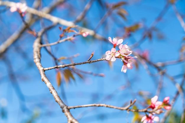 Wiśniowe kwiaty na drzewie