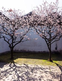 Wiśniowe kwiaty na podwórku