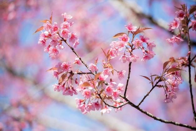 Wiśniowe kwiaty na środku góry w pięknej wiosny.