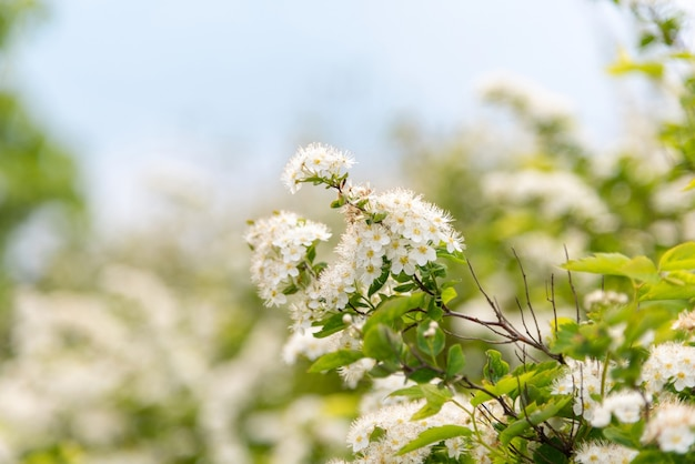 Wiśniowe kwiaty na tle błękitnego nieba.