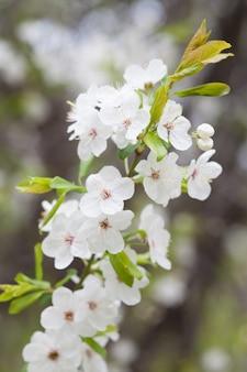 Wiśniowe kwiaty na tle natura niewyraźne. wiosenne kwiaty. tło wiosna z bokeh