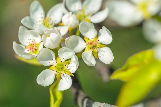 Wiśniowe kwiaty na tle natura niewyraźne