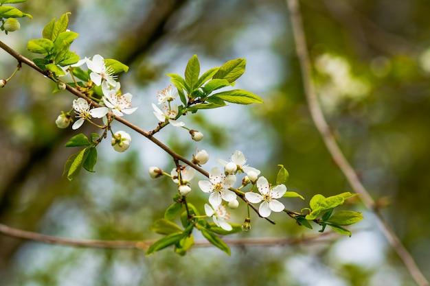 Wiśniowe kwiaty na tle niewyraźne natura wiosenne kwiaty wiosenne tło z bokeh gałęzi drzewa z wiśniowych kwiatów na naturalnym zielonym tle
