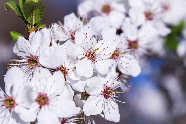 Wiśniowe kwiaty na wiosnę. piękne białe kwiaty