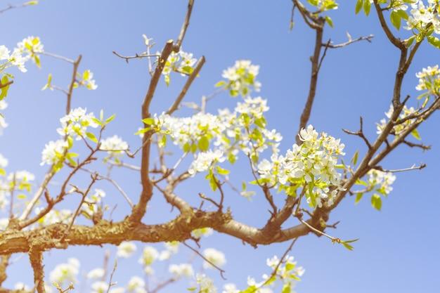 Wiśniowe kwiaty nad niewyraźne charakter