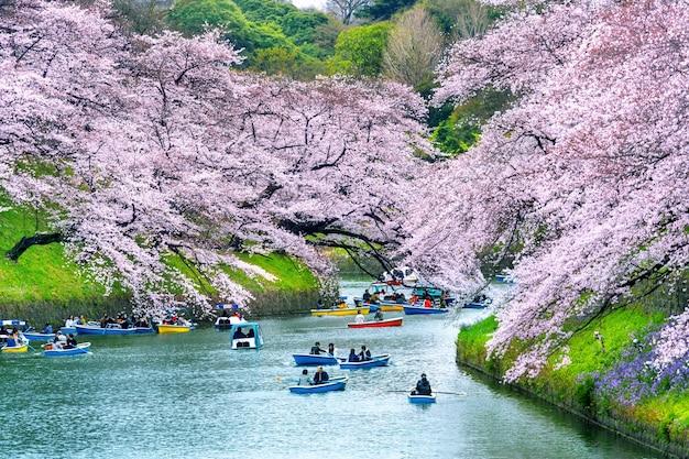 Wiśniowe kwiaty w parku chidorigafuchi w tokio, japonia.