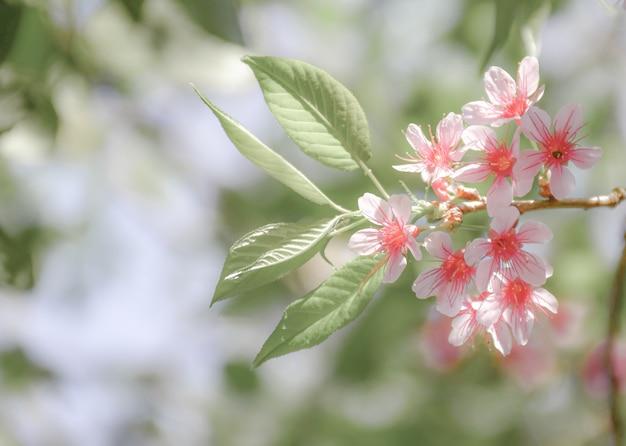 Wiśniowe kwiaty w pełnym rozkwicie