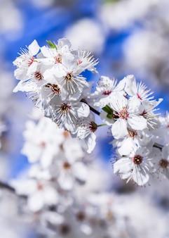 Wiśniowe kwiaty wiosną piękne białe kwiaty na tle błękitnego nieba