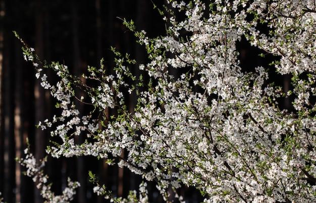 Wiśniowe kwiaty wiosną piękne białe kwiaty na tle ciemnego lasu