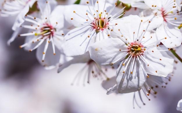Wiśniowe kwiaty wiosną piękne białe kwiaty