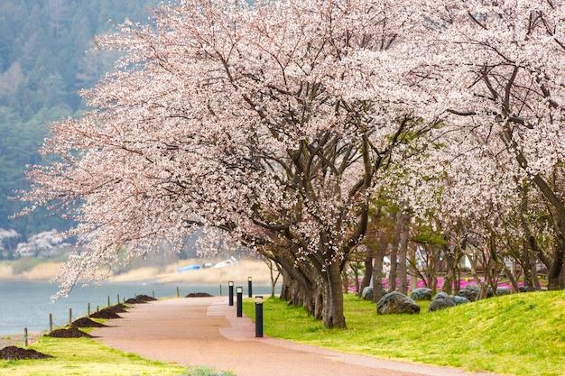 Wiśniowe kwiaty wzdłuż ścieżki spacerowej nad jeziorem kawaguchiko podczas festiwalu hanami