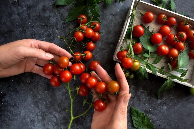 Wiśniowe pomidory na ciemnym tle. ręce ogrodnika trzymają pomidory.
