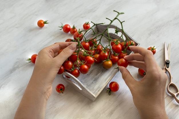 Wiśniowe pomidory na jasnym tle ogrodnicy trzymają pomidory za ręce