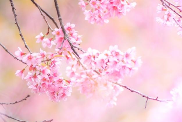 Wiśniowy kwiat na wiosnę z miękką ostrością