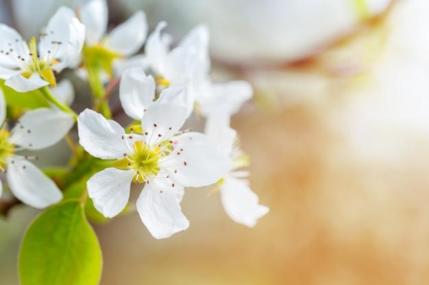 Wiśniowy kwiat na wiosnę