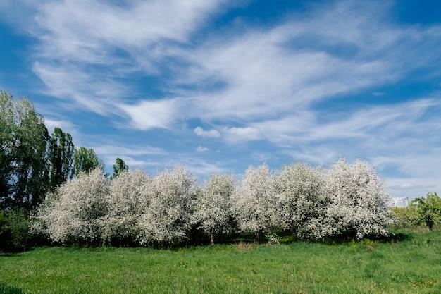 Wiśniowy sad w słoneczny dzień