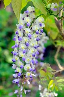 Wisteria sinensis, powszechnie znana jako glicynia chińska