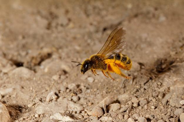 Wisząca pszczoła lasioglossum sp. malta