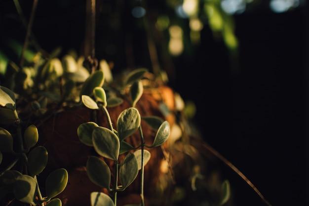 Wisząca roślina w ciepłym świetle słonecznym ranek.