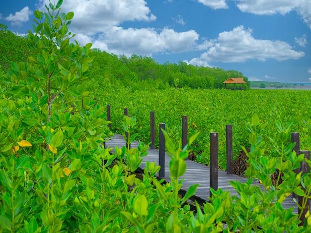 Wiszący drewniany most dydaktyczny w lesie namorzynowym