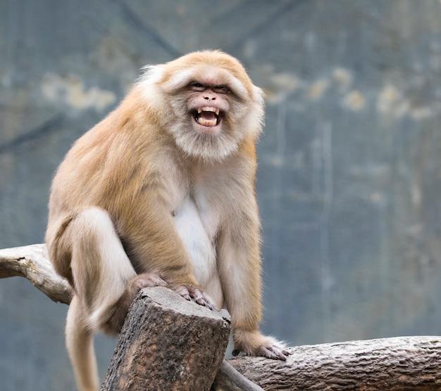 Wizerunek brown rhesus małpy na naturze.
