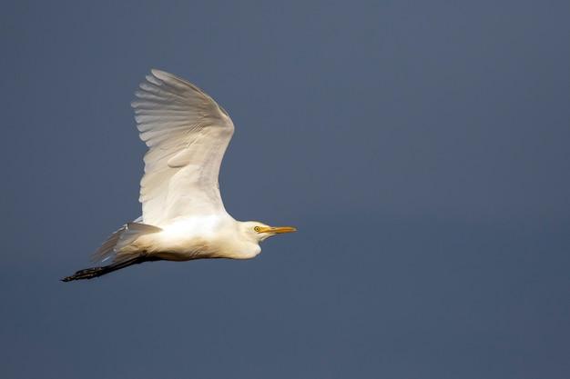 Wizerunek czapli, bąka lub egret latania na niebie. biały ptak. zwierzę.