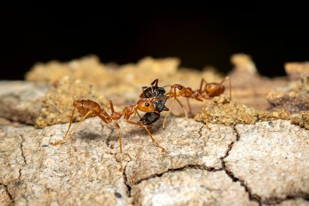 Wizerunek czerwona mrówka na drzewie (oecophylla smaragdina). owad. zwierzę.