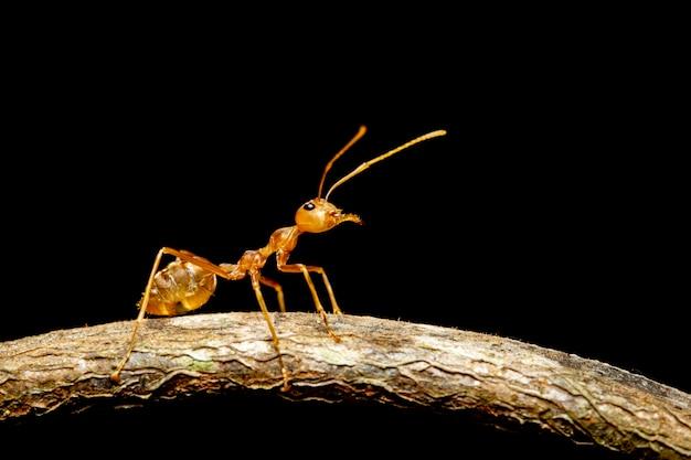 Wizerunek czerwona mrówka na gałąź (oecophylla smaragdina). owad. zwierzę.