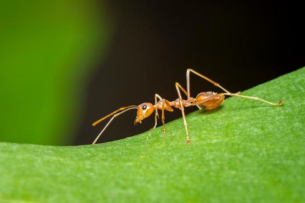 Wizerunek czerwona mrówka na zielonym liściu (oecophylla smaragdina). owad. zwierzę